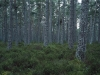 Abernethy Forest, Scotland . One of the last remaining stands of Caledonian Pineforest .