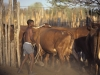 Cattle have been recently introduced as a way of  increasing income